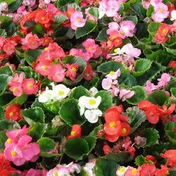 Image result for begonia super olympia mix