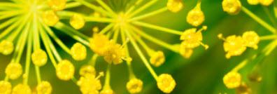 Anise Blooming.jpg