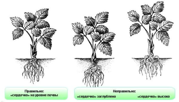 Расположение точки роста клубники при посадке