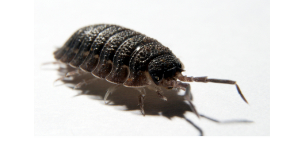 pill bug lab report