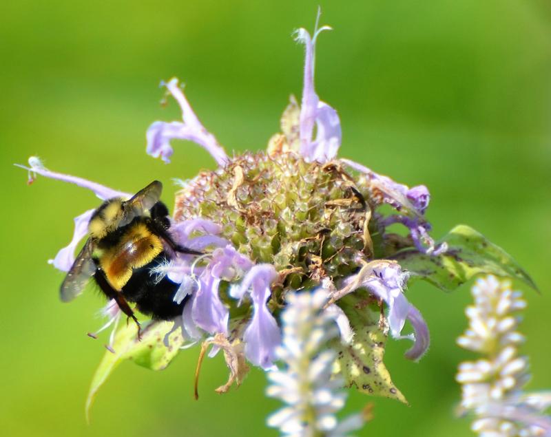 photo of Worker on wild bergamot (<em>Monarda fistulosa</em>)