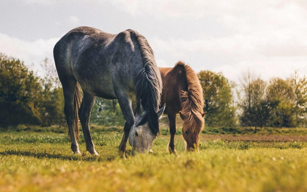 two gray and brown horses eating grass