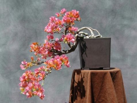 bonsai-hoa-giay.PNG