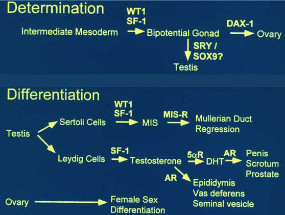 Summary of genes known to have a role in mammalian sex determination and differentiation. (Included with permission from: Parker KL, Schimmer BP and Schedl A. Genes essential for early events in gonadal development.  - PubMed -  1999; 55:831-838)