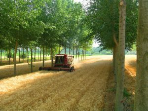 Harvesting wheat between rows of trees.
