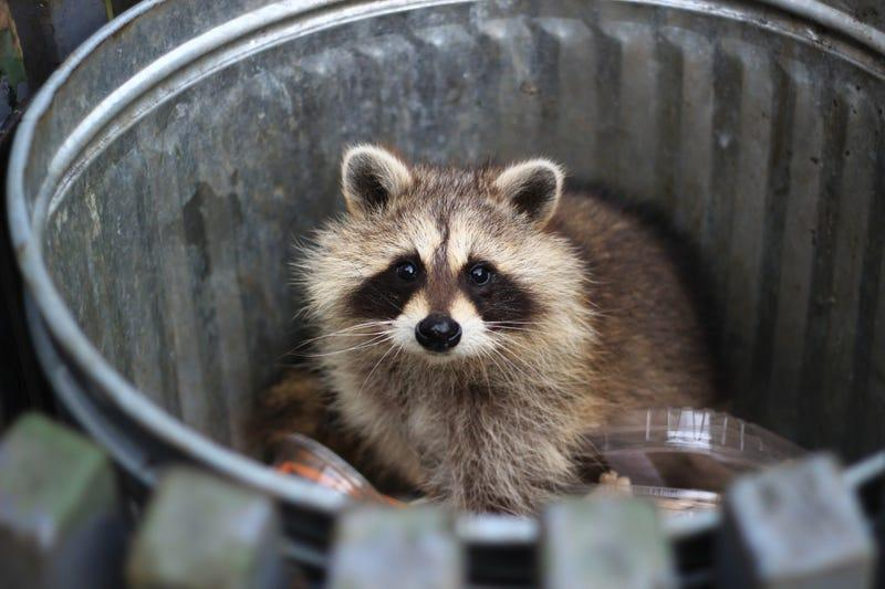 Raccoon takes over armored vehicle at US Army base