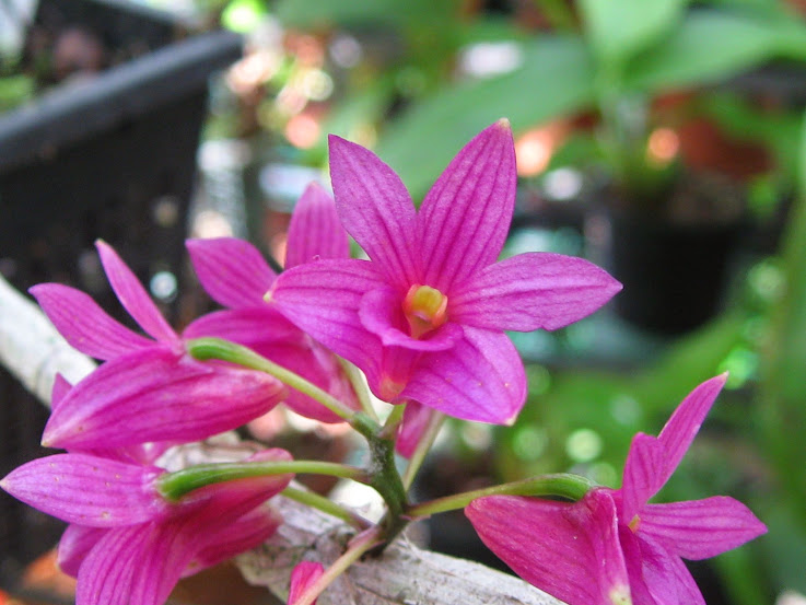 Dendrobium miyakei (vendu pour Dendrobium Usitae Red Coral) MtSsYFQf6GOr9iVdGcb4XuvWNL9GrkVoDA5f7cx3Gbo=w737-h553-no