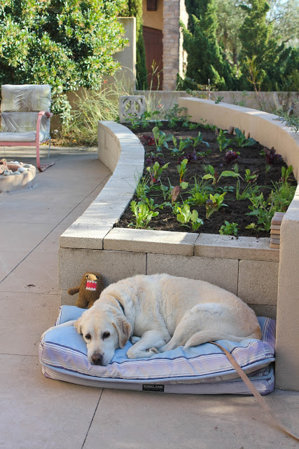 Raised beds allow your clients to still enjoy gardening without worrying about the dog running through the beds.  Photo: lagunadirt.com