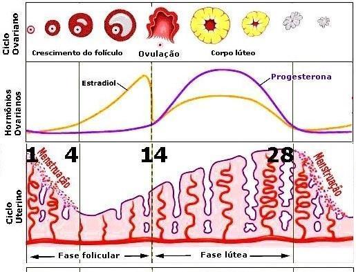 Ciclo Menstrual e Gravidez | Ciências na mosca 9º ano