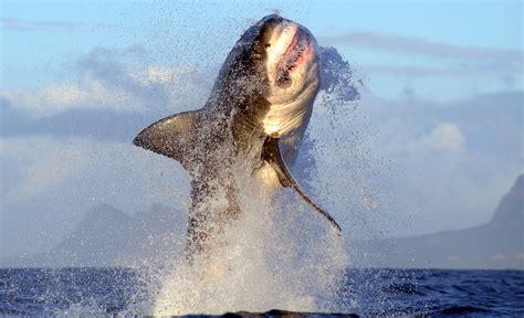 Great White Shark Bites Man's Kayak in California, Leaves ...