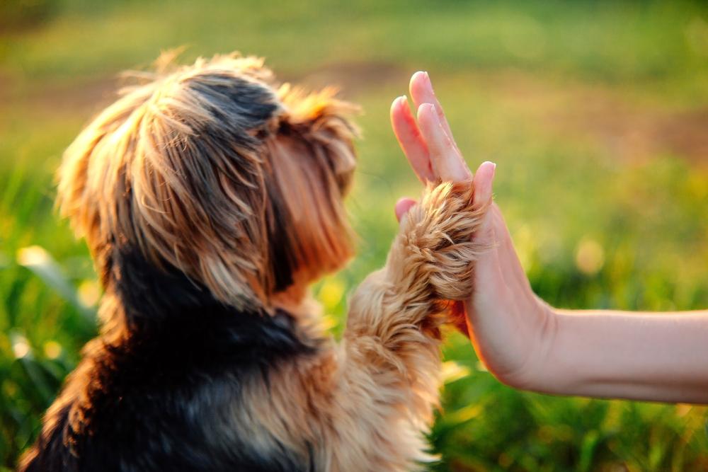 """Bravo ! Vous avez réussit parfaitement à apprendre à votre chien l'ordre assis. Et maintenant ? Ne vous arrêter pas en si bon chemin, votre animal continue d'apprendre et pour se faire, il suffira de recommencer chaque exercice, mais sans la friandise. C'est à ce moment là que vous pourrez dire """"j'ai réussit à apprendre la méthode assis à mon chien à 100%!"""" Félicitation !"""