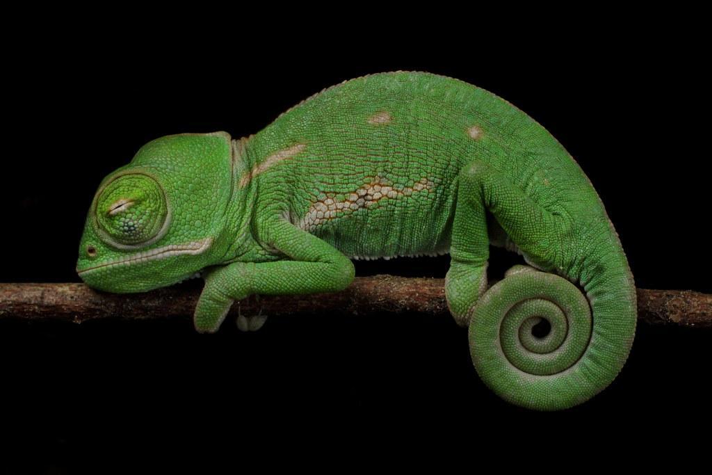 Image result for sleeping veiled chameleon