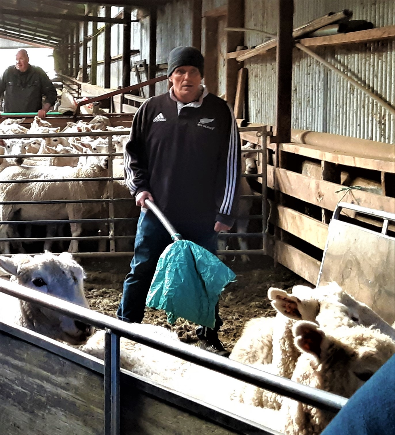 "Gavin with a ""sheep moving shaker"" walking the sheep towards the conveyor."