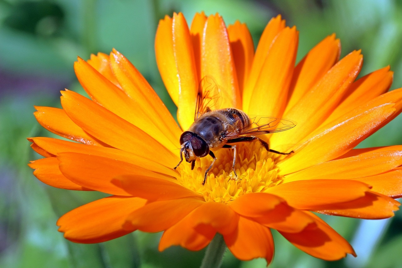 marigold-1525693_1280.jpg