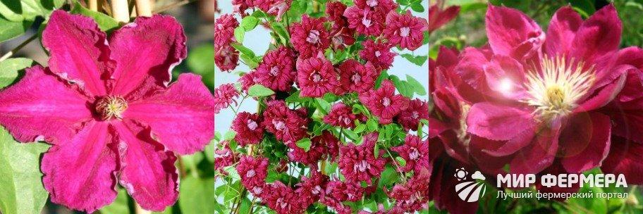 Клематис Кардинал Вышинский светолюбивое растение