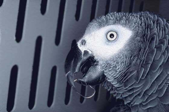 Unsafe toys include clips like the one caught on this African grey's beak