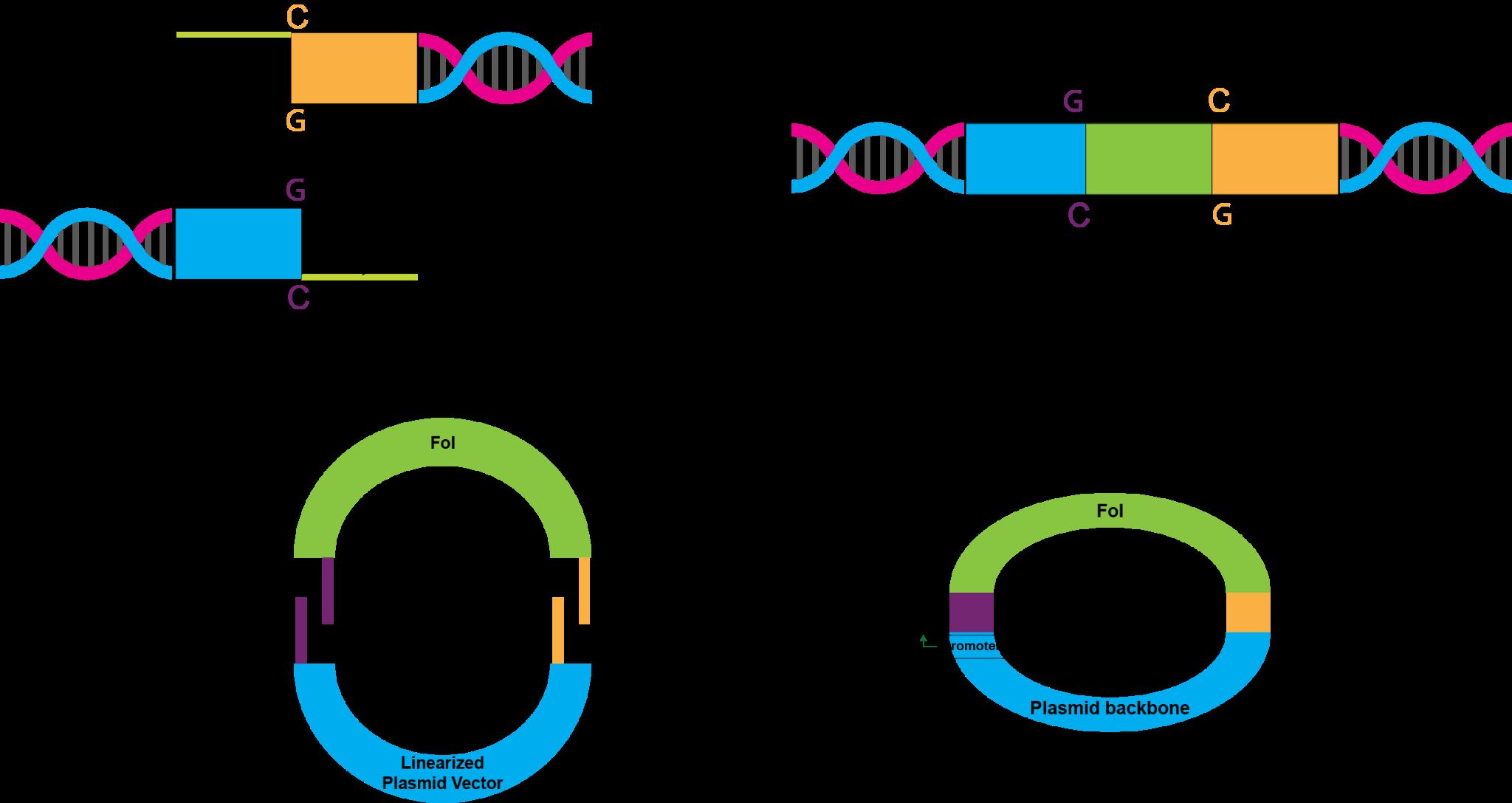 DNA ligation reaction during cloning