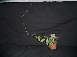Floraison Hoya acuta Ngii8OzXWLn8TDq3nb-RCPiEXnJkcl2BHUQIs2MAoXI=w269-h201-p-no