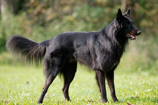 Бельгийская овчарка описание породы собак, характеристики, внешний вид,  история | Хвост Ньюс