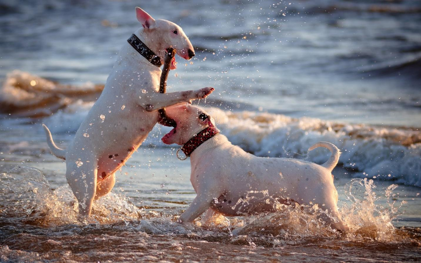 White Bull Terriers playing - My Doggy Rocks