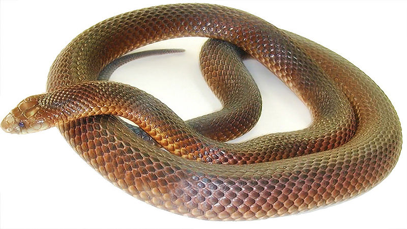 烏魯魯毒蛇