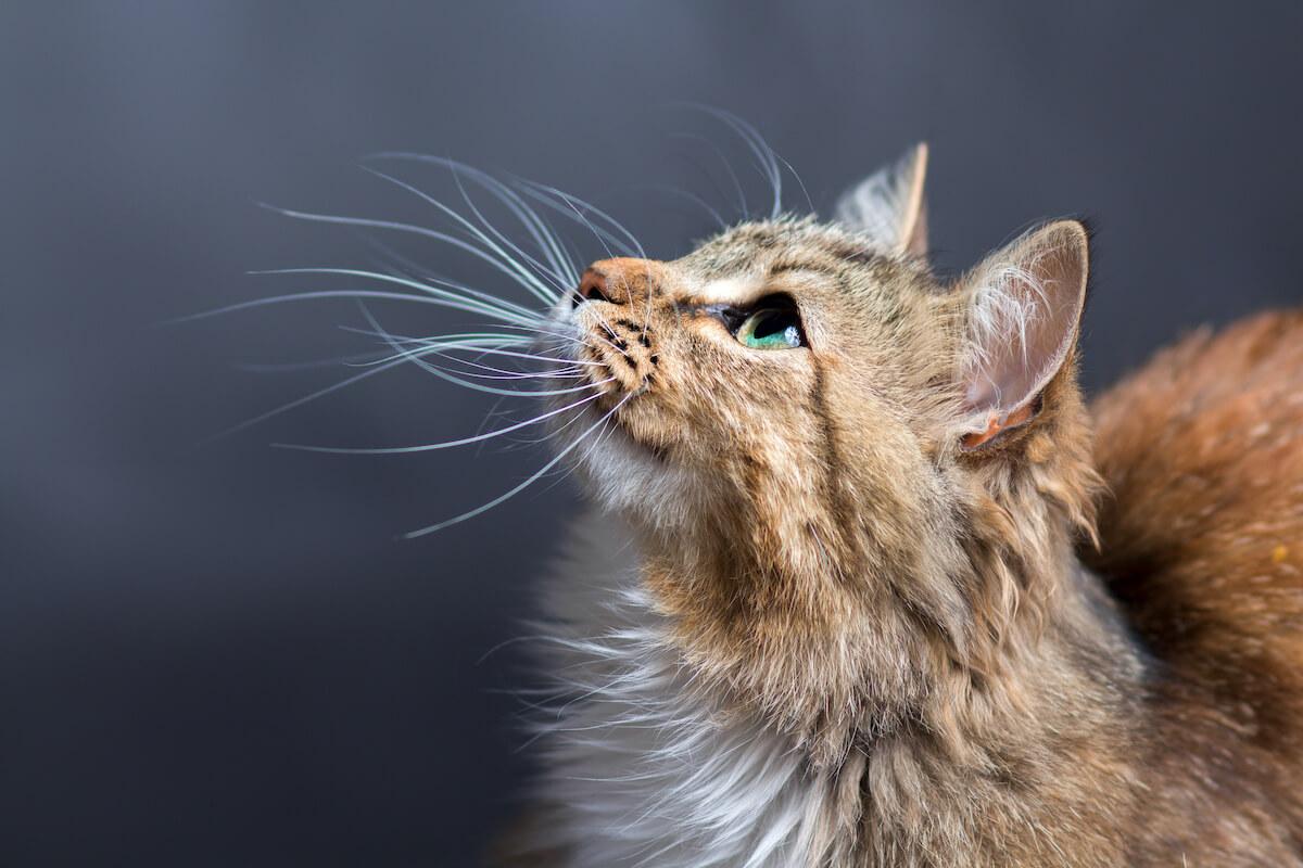 saviez-vous que les chats ont également des moustaches sur le reste du corps