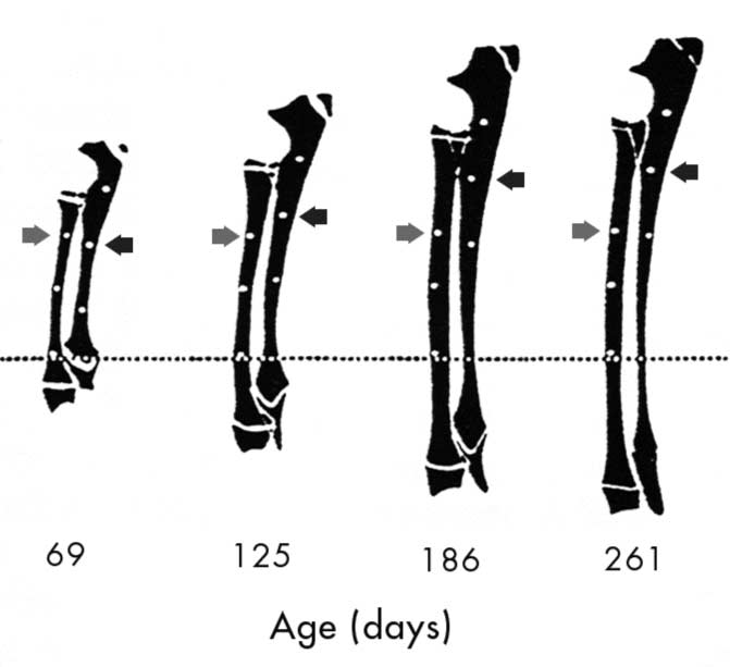 Growth of the radius and ulna is depicted at ~2 months, ~4 months, ~ 6 months, and ~9 months of age