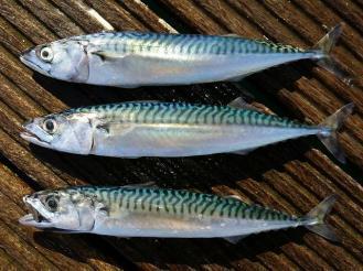 G:\Nova pasta (2)\Peixes\-Bonito\seafish_mackerel_scombrus_scombrus_01-09-17_1-min.jpg