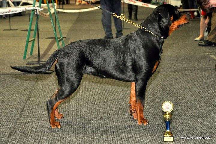 Champion rottweiler piękna arma