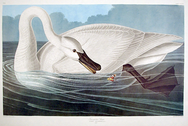 print of a trumpeter swan