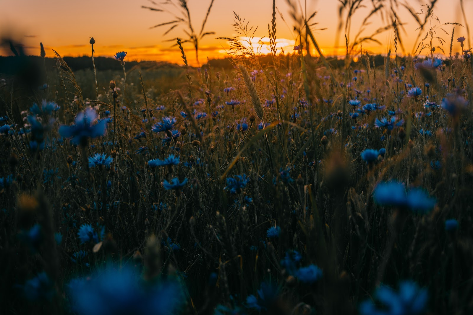 A sunset scene in a field of wildflowers.