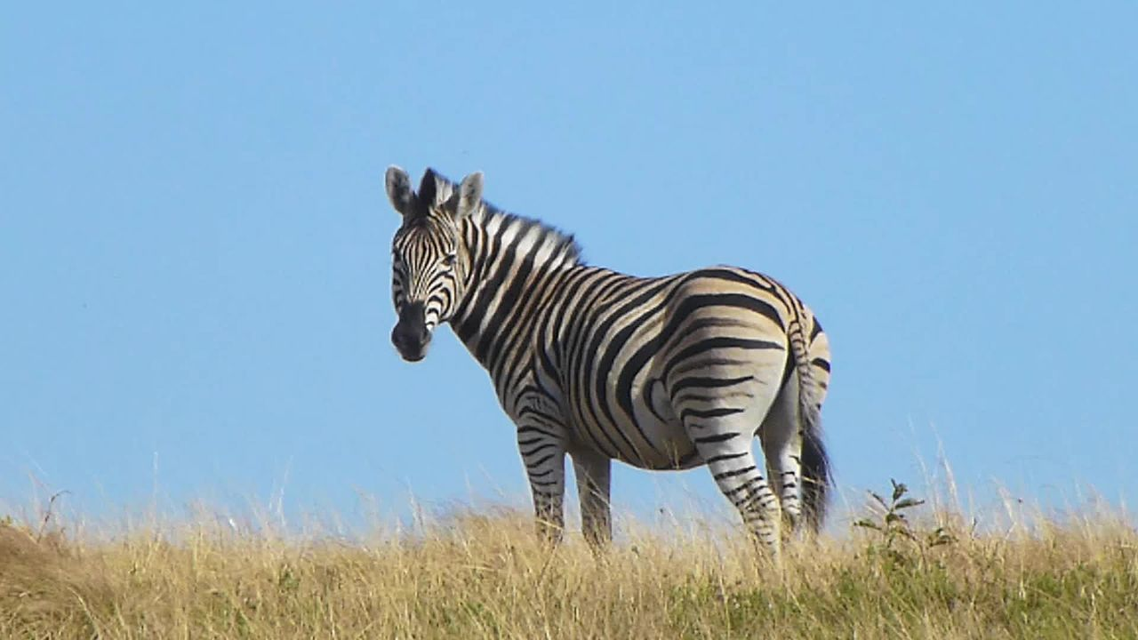 Description: Cape_Mountain_Zebra_-_Equus_zebra_zebra.webm.jpg