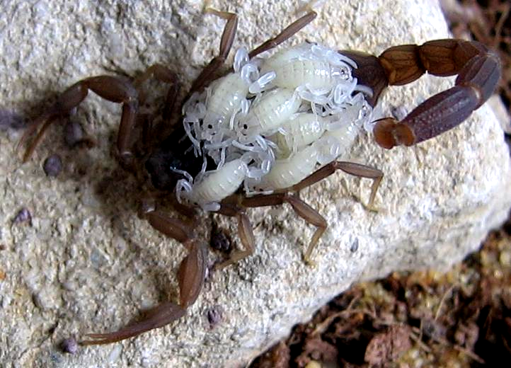 https://upload.wikimedia.org/wikipedia/commons/2/23/Scorpionwithyoung.JPG