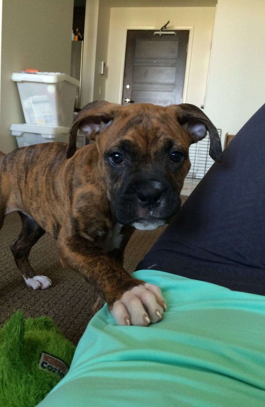 boxer puppy training guide