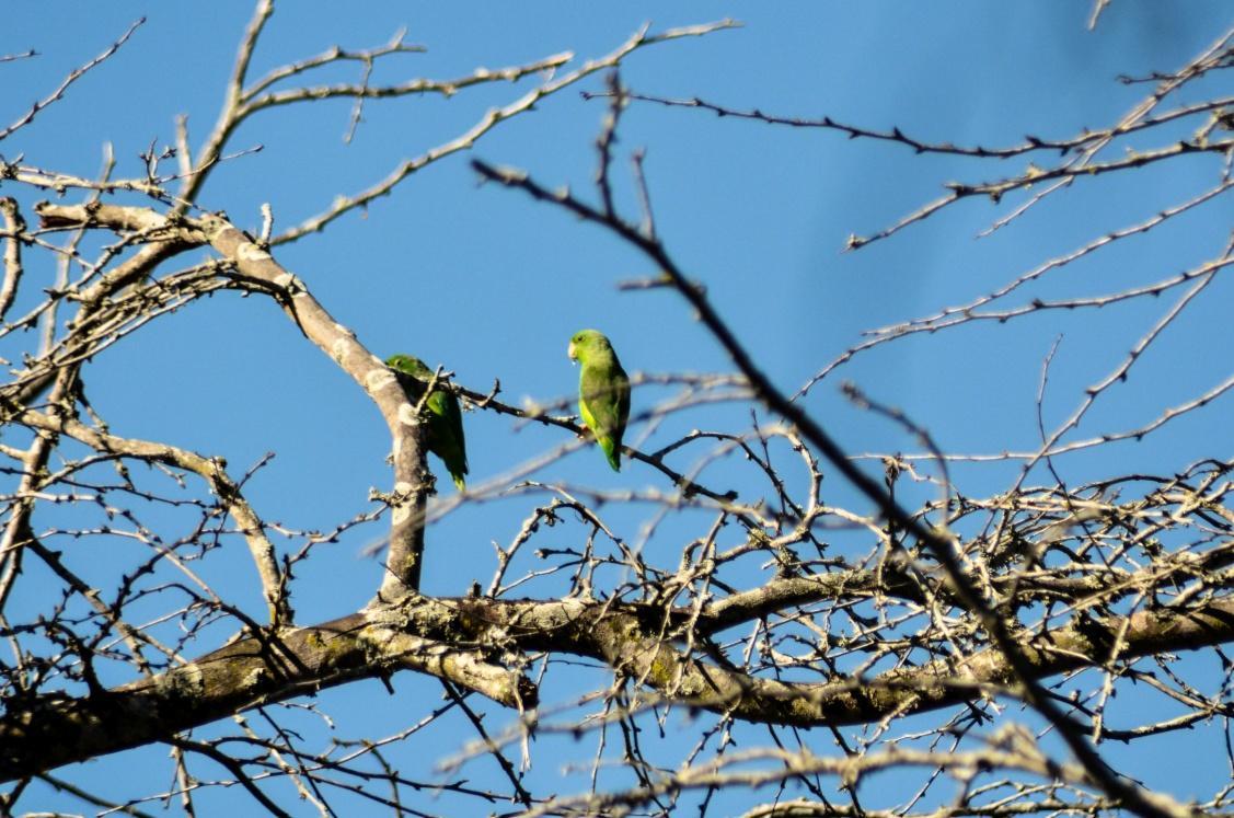 F:periquito mastrantero-forpus passerinus.jpg