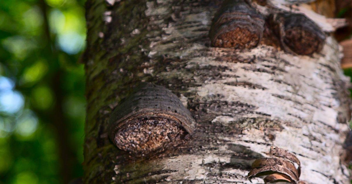 Cogumelo Chaga crescendo em uma árvore