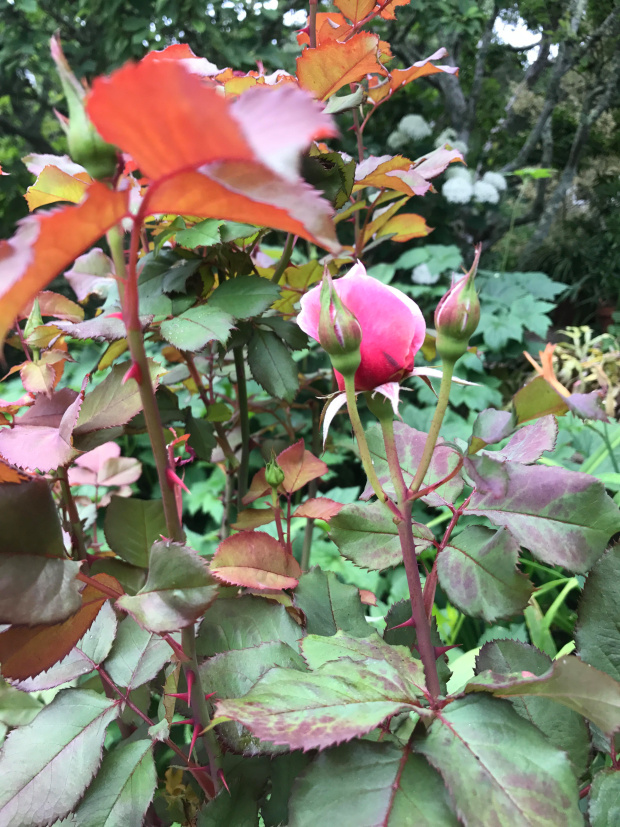 Remove rose slugs from your garden
