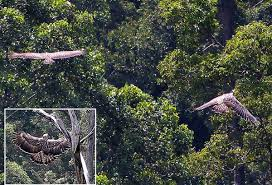 Unson J (2013) Mating Philippine eagles sighted in Zambo Norte forest. Accessed 17 Apr. http-::www.philstar.com:.jpeg