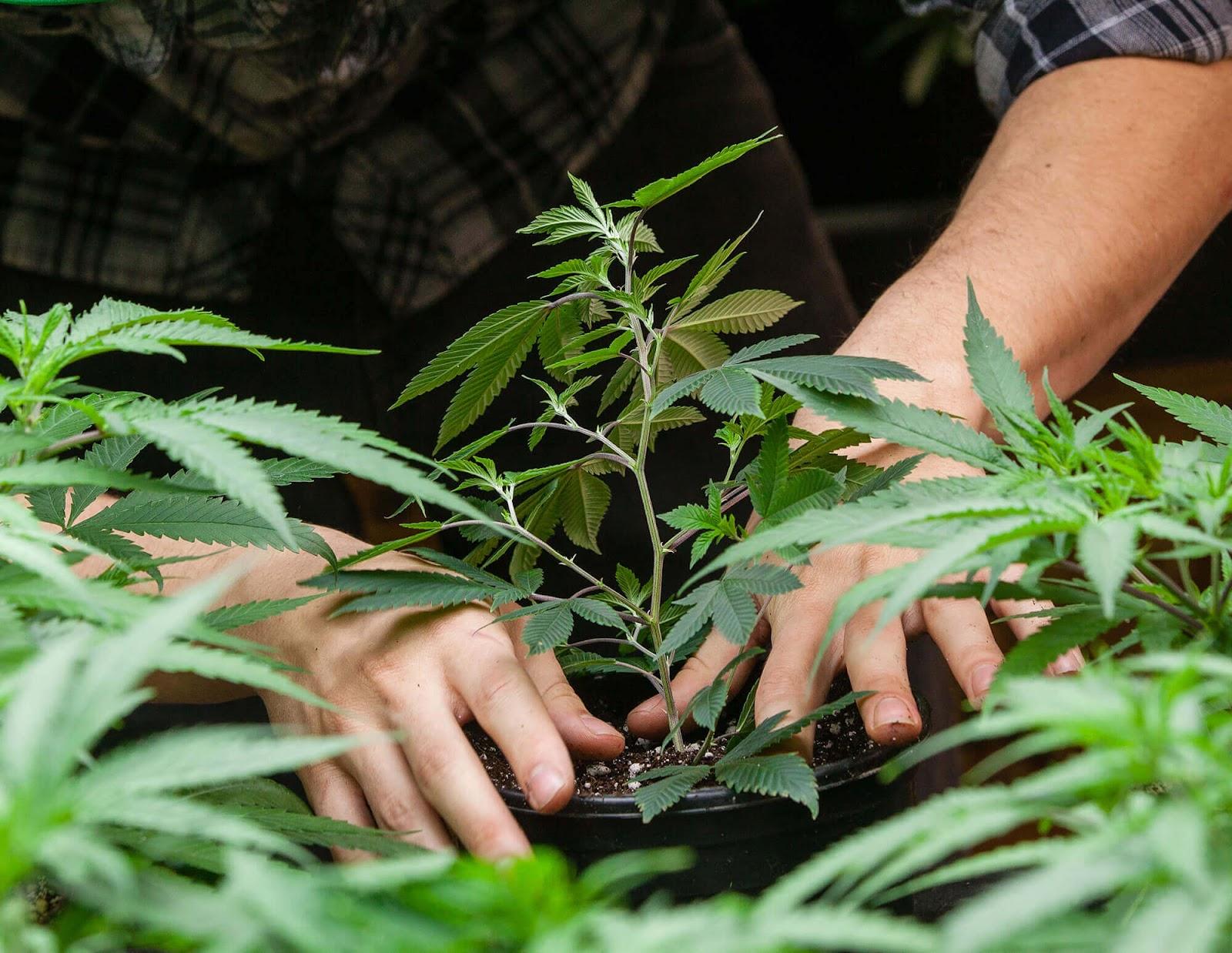Всхожесть семян марихуаны появляются семена на конопле