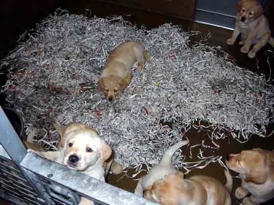 Periódicos rasgados usados como material de cama en una caja de parto