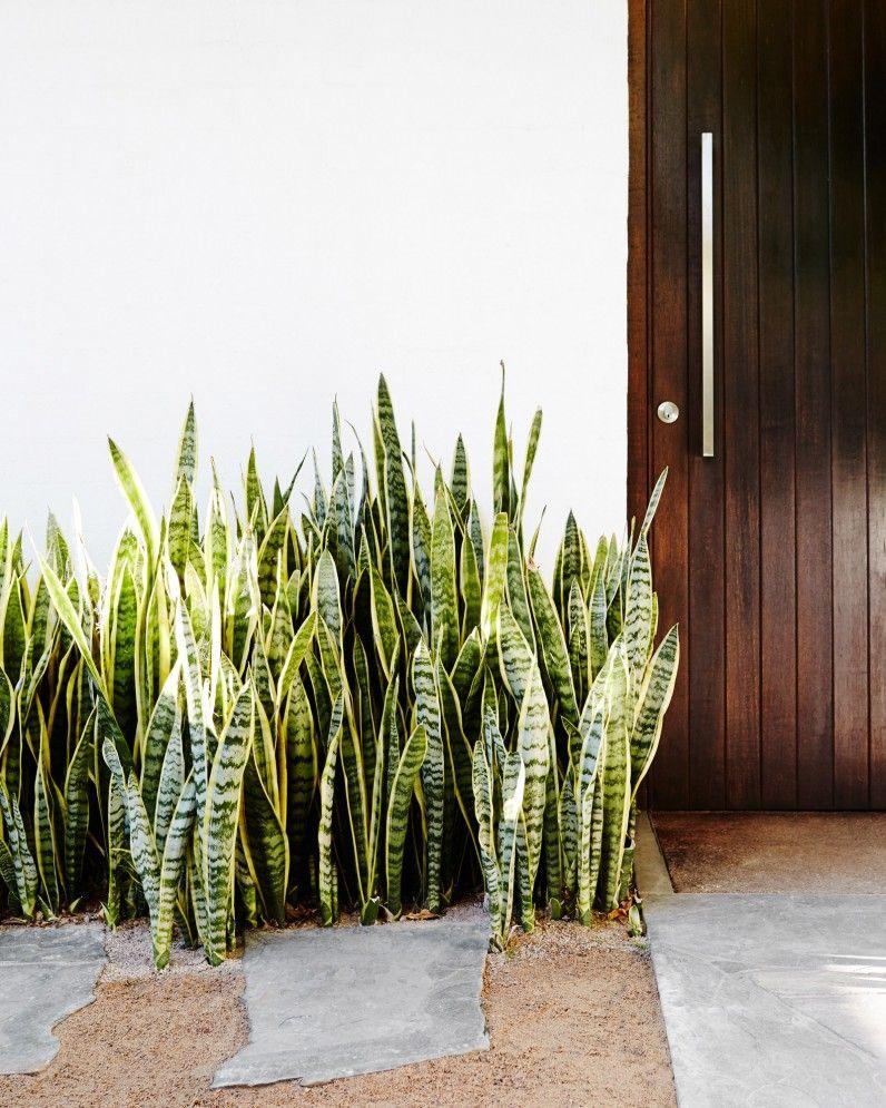 Tanaman hias lidah mertua - source: pinterest.com