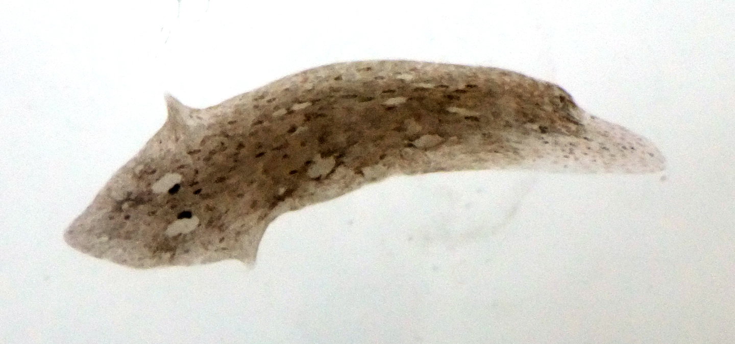 Triclad flatworm