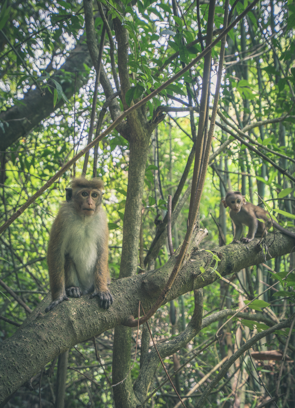 Monkeys in the Jungle near Ramboda Falls