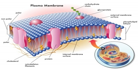Image result for cell membrane