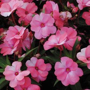 Image result for impatiens sunpatiens spreading Pink flash