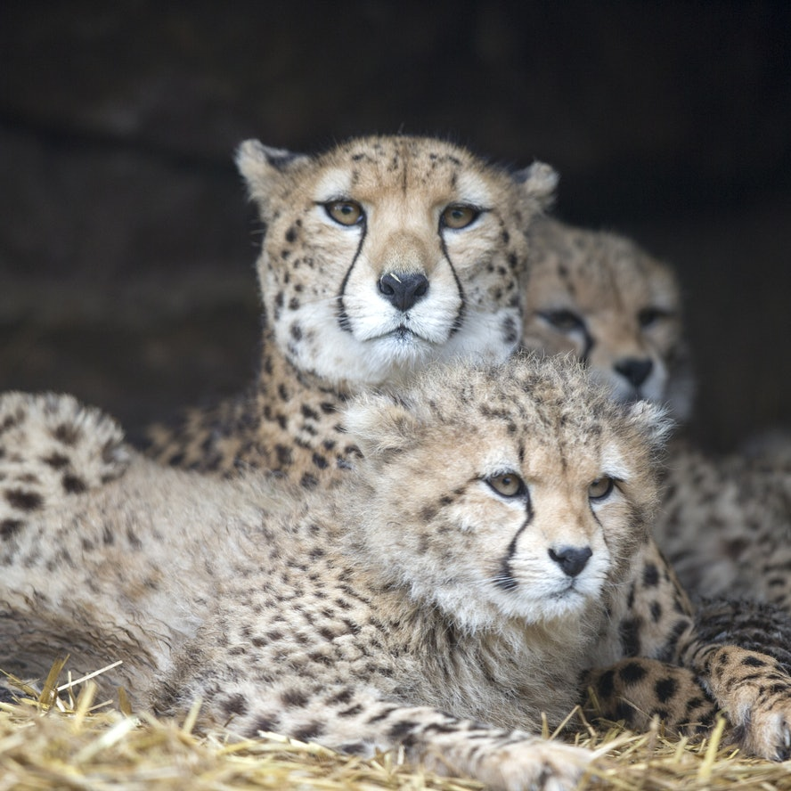 A mother cheetah and two cubs lying down.