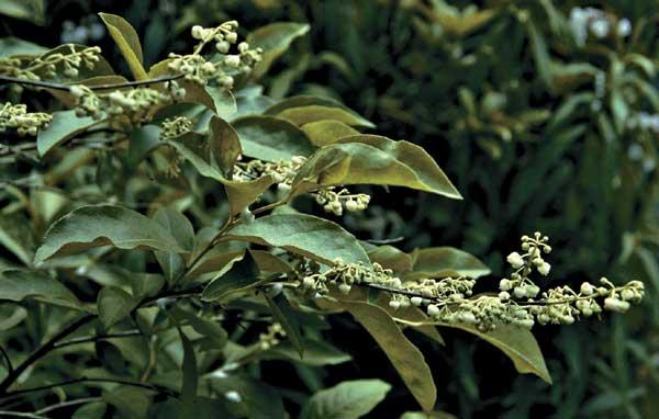 Maleberry flowering branch