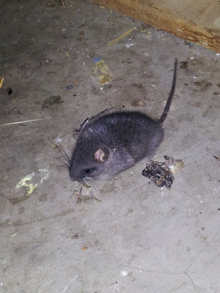 mice rats voles gophers rodents walla walla dayton milton freewater 99362