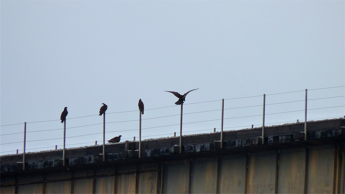 Turkey Vultures.jpg