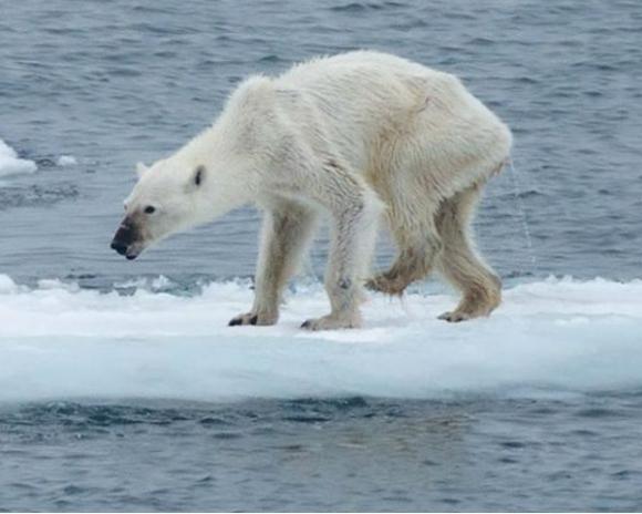 emaciated-polar-bear.jpg